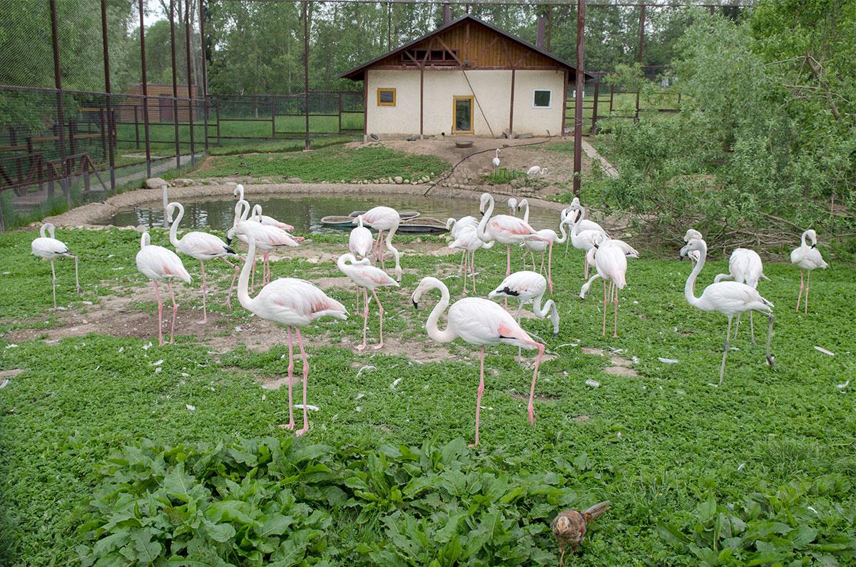Парк птиц Воробьи оборудовал для стаи фламинго просторный вольер с зимним домиком, накрытыми сеткой, чтобы пернатые не улетели.