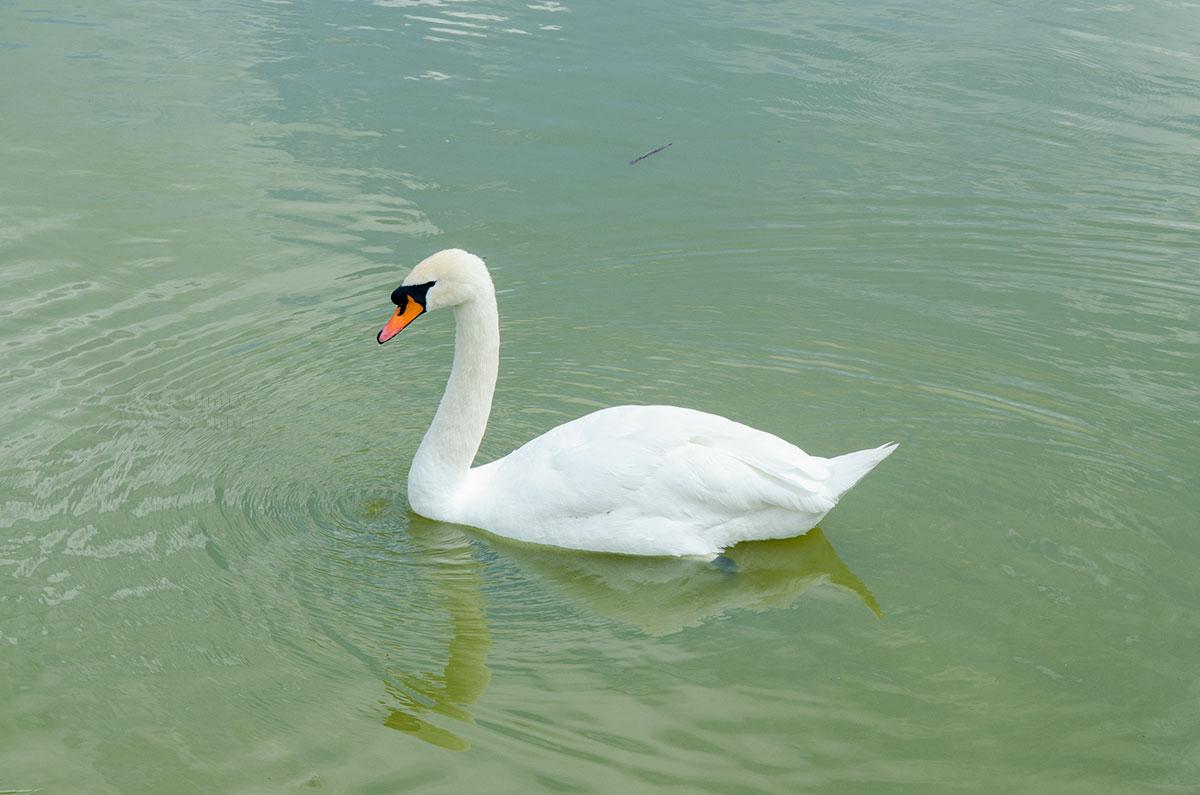 Белый лебедь в открытом водоеме северной части территории парка птиц Воробьи чувствует себя вполне комфортно и улетать не собирается.