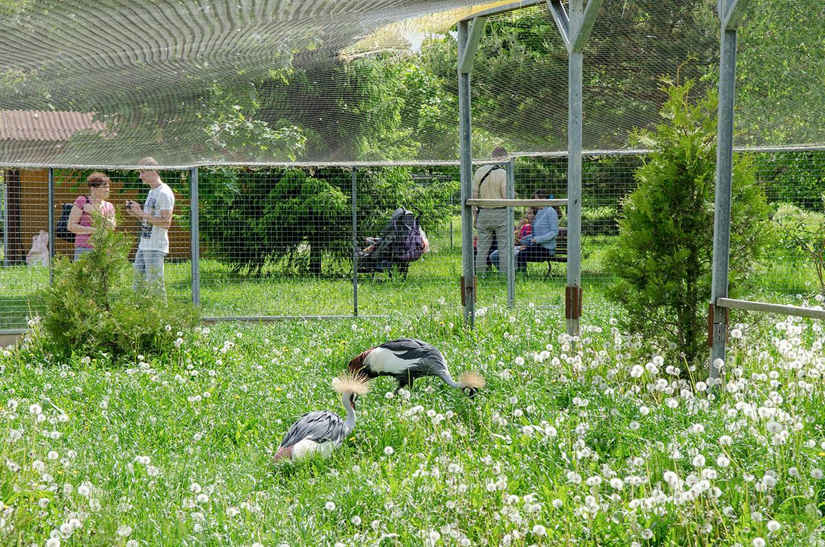 Парк птиц Воробьи содержит и демонстрирует публике венценосных журавлей, поместив их в просторный вольер, улететь из которого невозможно.