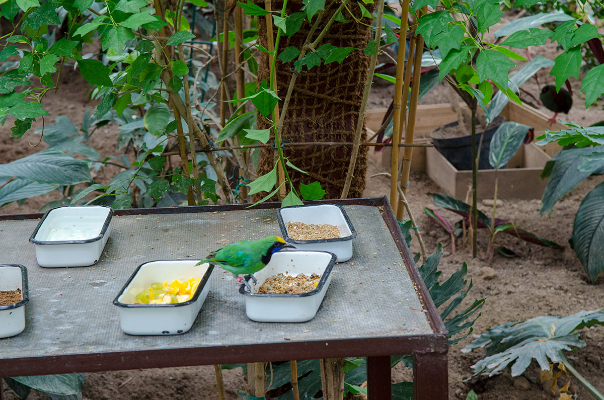 Пока идет обустройство павильона Певчие птицы мира в парке птиц Воробьи, шустрая канарейка уже узнала, где можно подкрепиться.