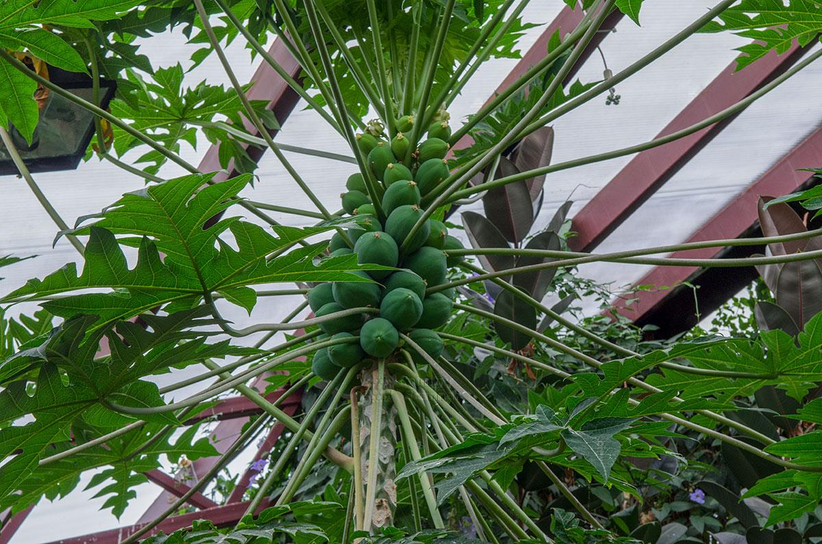Дынное дерево, высаженное в павильоне Певчие птицы мира парка птиц Воробьи, уже дало первые плоды папайи, пока не созревшие.
