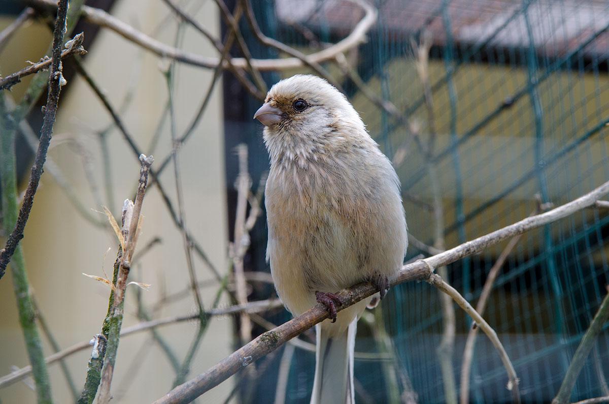 Редкостный белый дрозд является одним из ценнейших обитателей павильона певчих в парке птиц Воробьи.