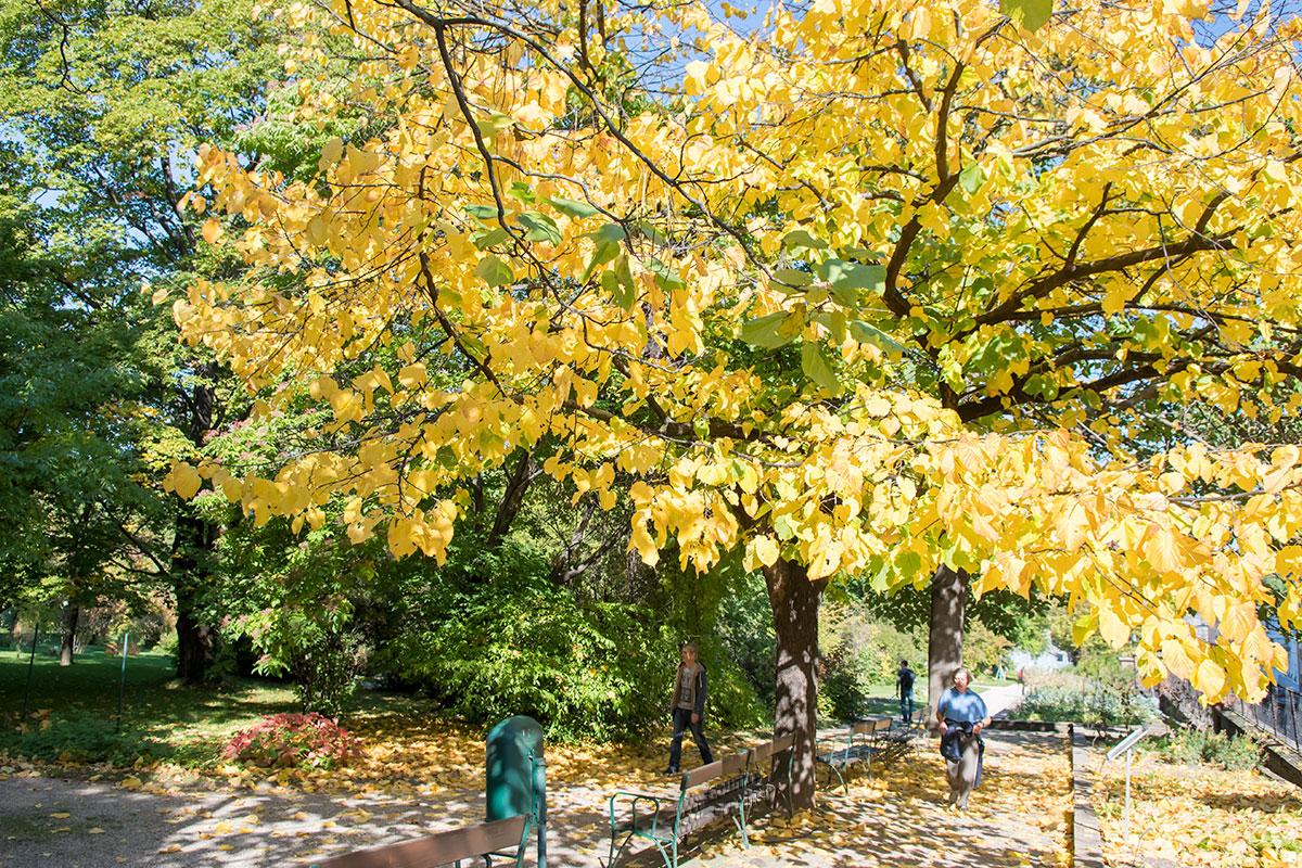 Прогулка по Ботаническому саду Венского университета может подарить неожиданный сюрприз вроде рано почуявшего зиму раскидистого дерева.