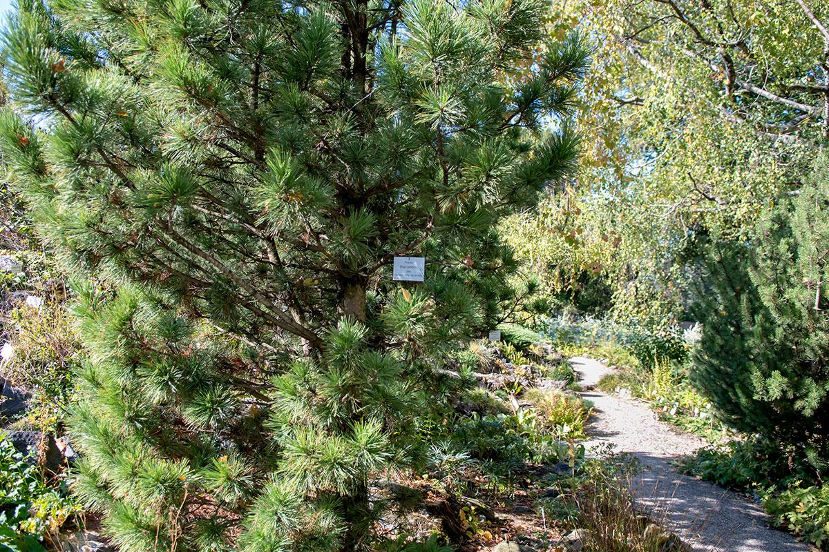 Одной из самых многочисленных и зрелищных коллекций Ботанического сада Венского университета является собрание хвойных растений.