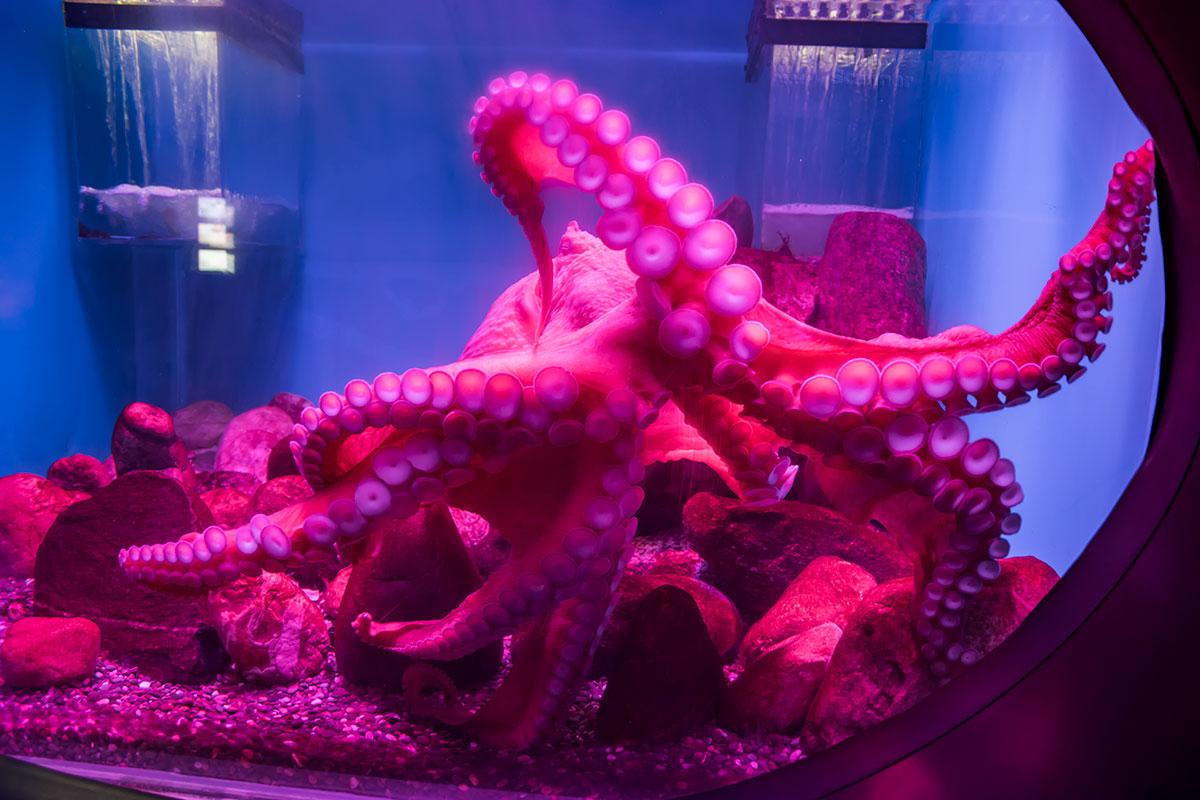 Подсвеченный розоватой иллюминацией осьминог – один из самых любопытных моллюсков Москвариума, обладатель восьми щупальцев с многочисленными присосками.