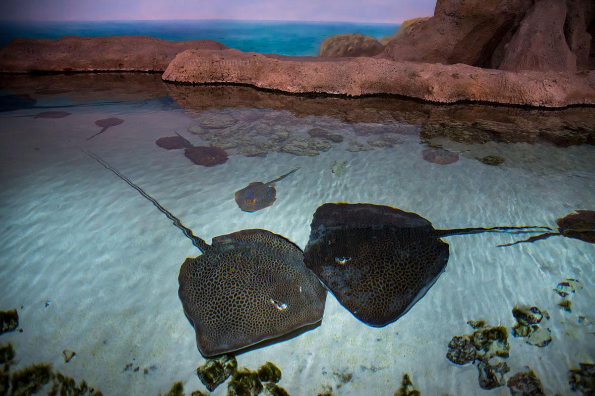 Похожие формой на скатов морские членистоногие – мечехвосты содержатся в открытом бассейне Москвариума, их разрешено трогать руками.