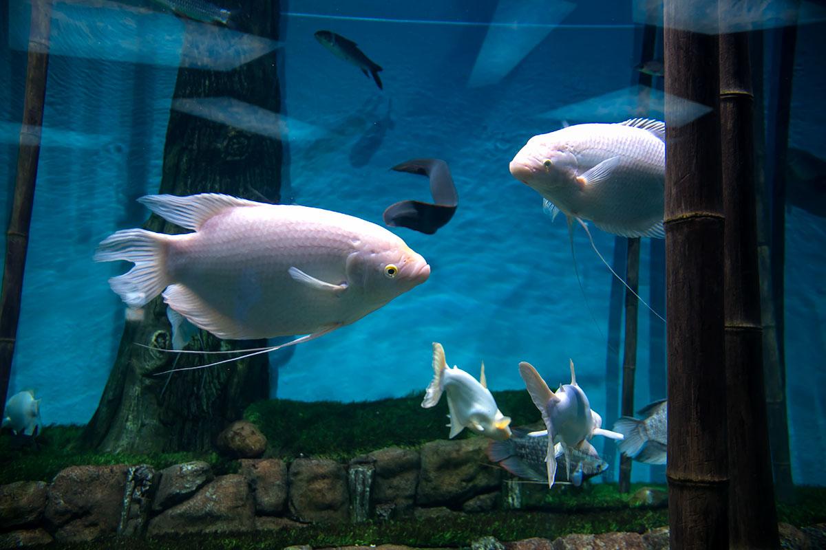 Москвариум выставляет похожих на аквариумных гурами лабиринтовых рыб, которые в местах природного обитания являются объектом промысла.
