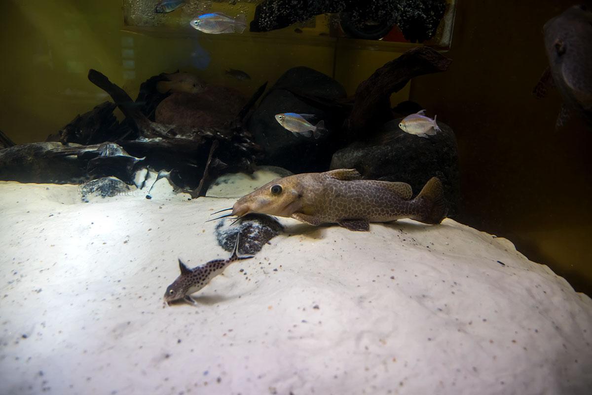 Разнообразны представляемые Москвариумом породы рыб, обитающих вблизи дна водоемов, которые любителями поголовно называются сомиками.