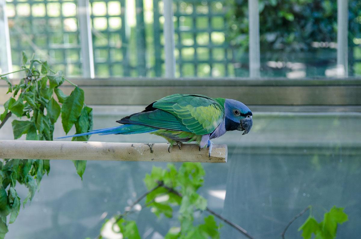 Синеголовый красногузый попугай, или пионус, доставлен в вольеры Петергофа из тропических лесов Центральной Америки.