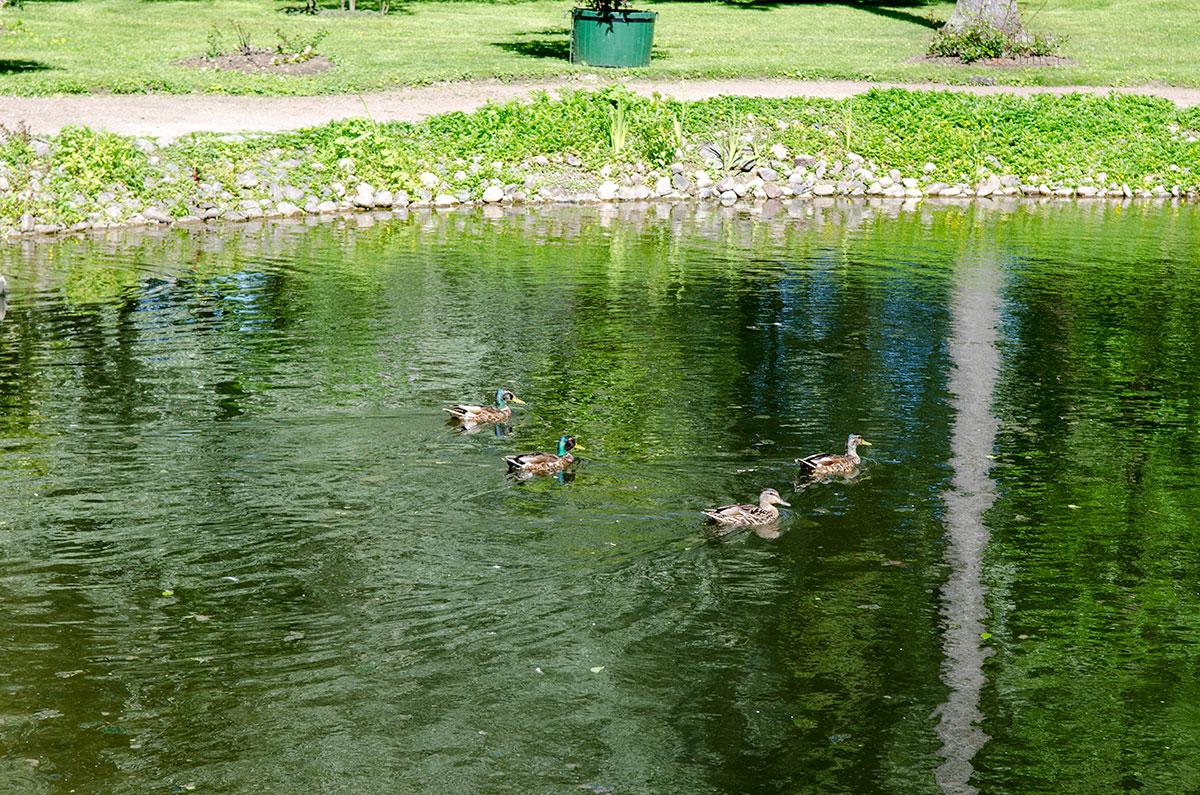 В Лебедином пруду за восточным павильоном вольеров Петергофа вполне комфортно чувствуют себя дикие речные утки.