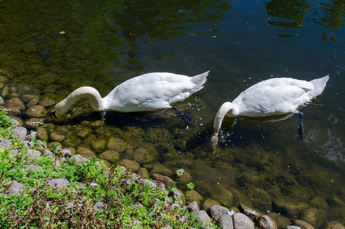 Рядом с восточным павильоном вольеров Петергофа можно наблюдать за белыми лебедями, кормящимися на мелководье у берега.