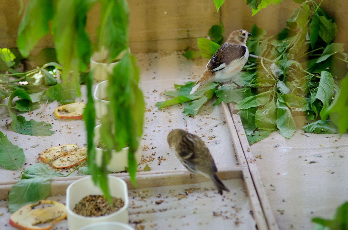 Большинство певчих птиц, населяющих западный павильон вольеров Петергофа, являются коренными обитателями российских лесов.