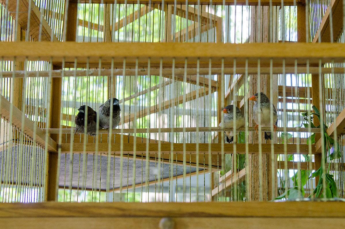 Клетки для певчих птиц в западном павильоне вольеров Петергофа сделаны традиционно, из деревянных планок и проволоки.