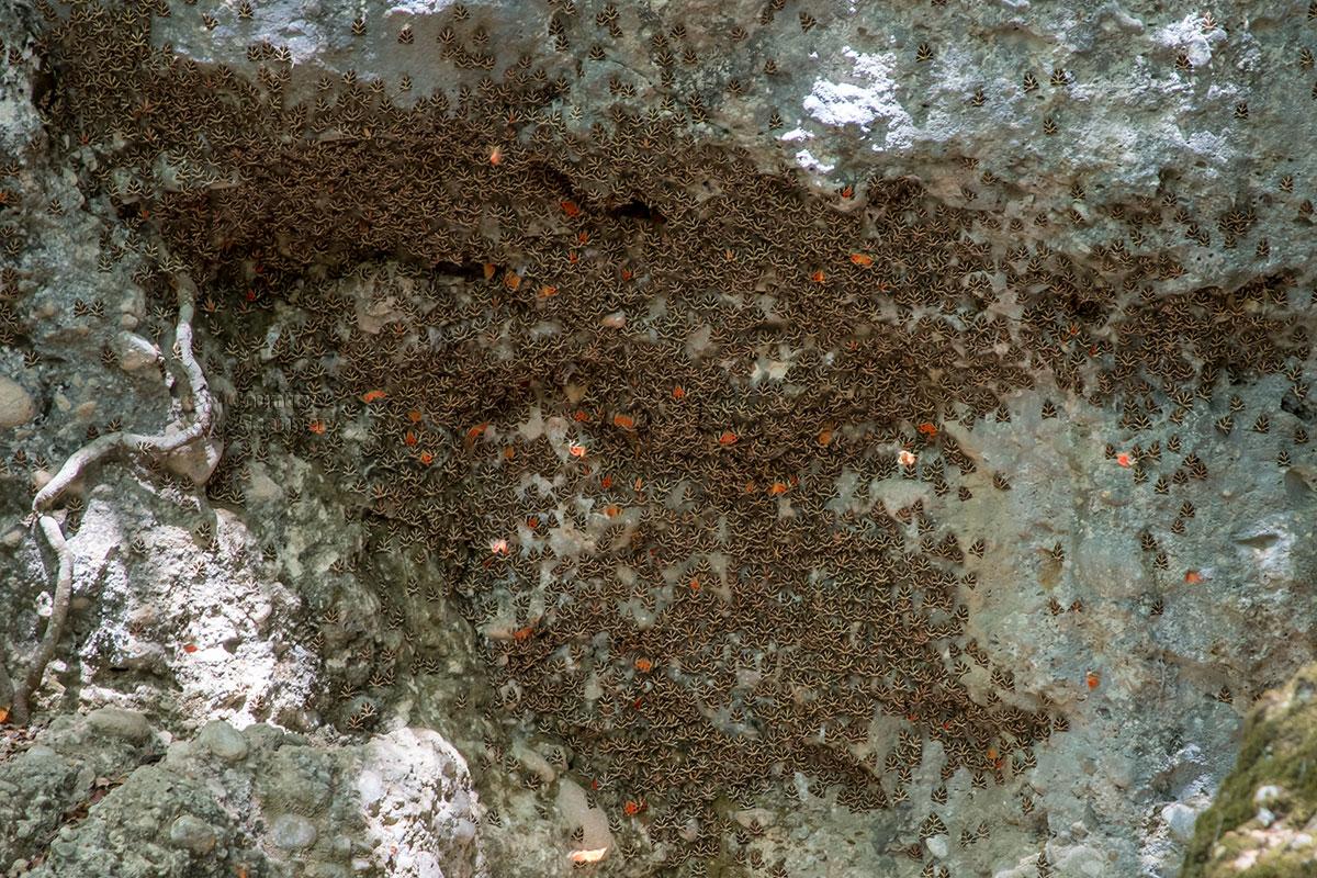 Среди серых треугольников сложивших крылья насекомых редкие обитатели долины бабочек на Родосе демонстрируют вторые крылья яркой расцветки.