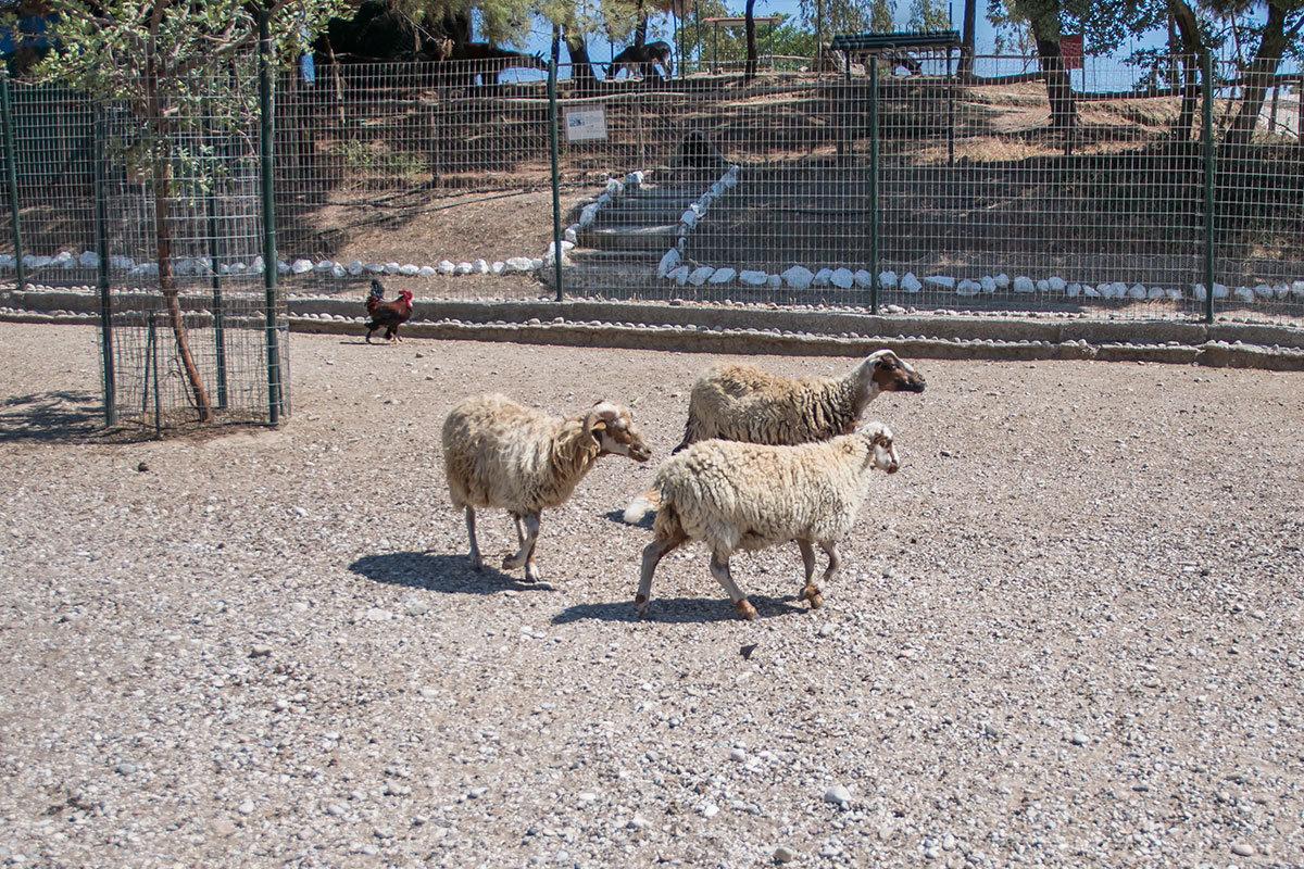 Самые продуктивные из прирученных человеком животных, домашние овцы, в вольере страусиной фермы Родоса.