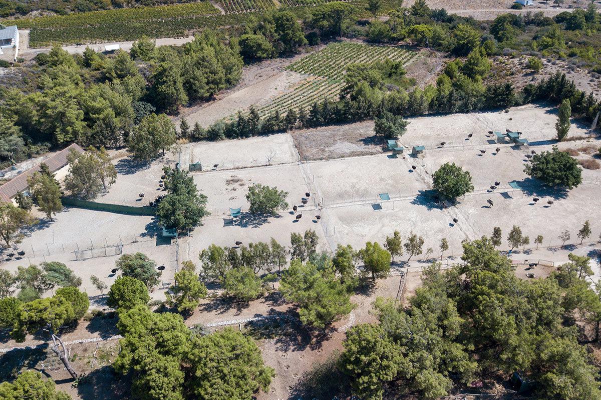 С высоты полета квадрокоптера страусиная ферма Родоса напоминает комплекс из нескольких теннисных кортов, где разгуливают нелетающие птицы.