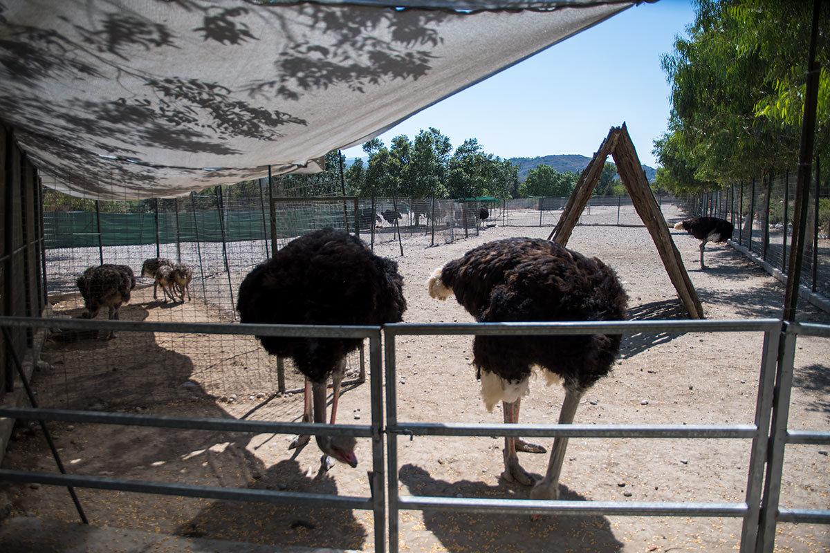 Разводимые на страусиной ферме Родоса нелетающие птицы располагаются в огражденных вольерах достаточной для пробежек площади.