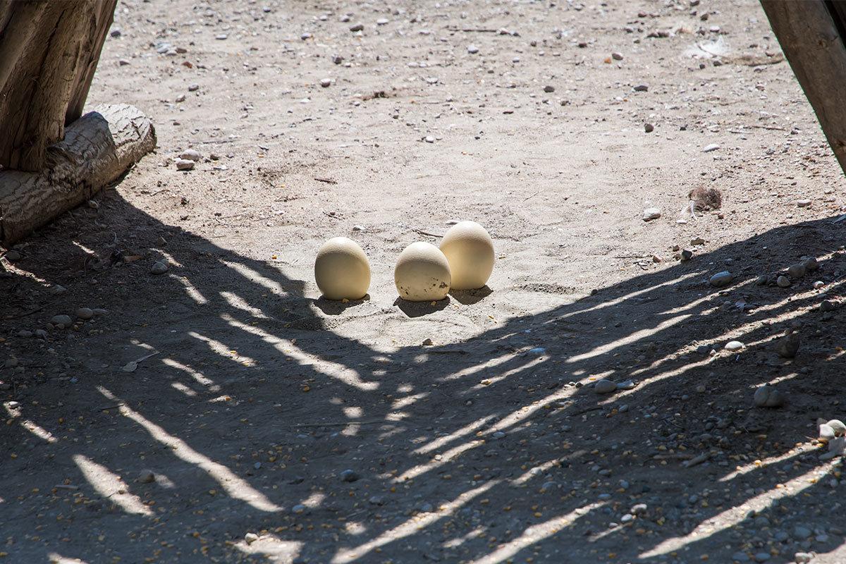 Несколько скорлуп от яиц страусов, освобожденных от содержимого, выставлены на обозрение посетителей страусиной фермы Родоса.