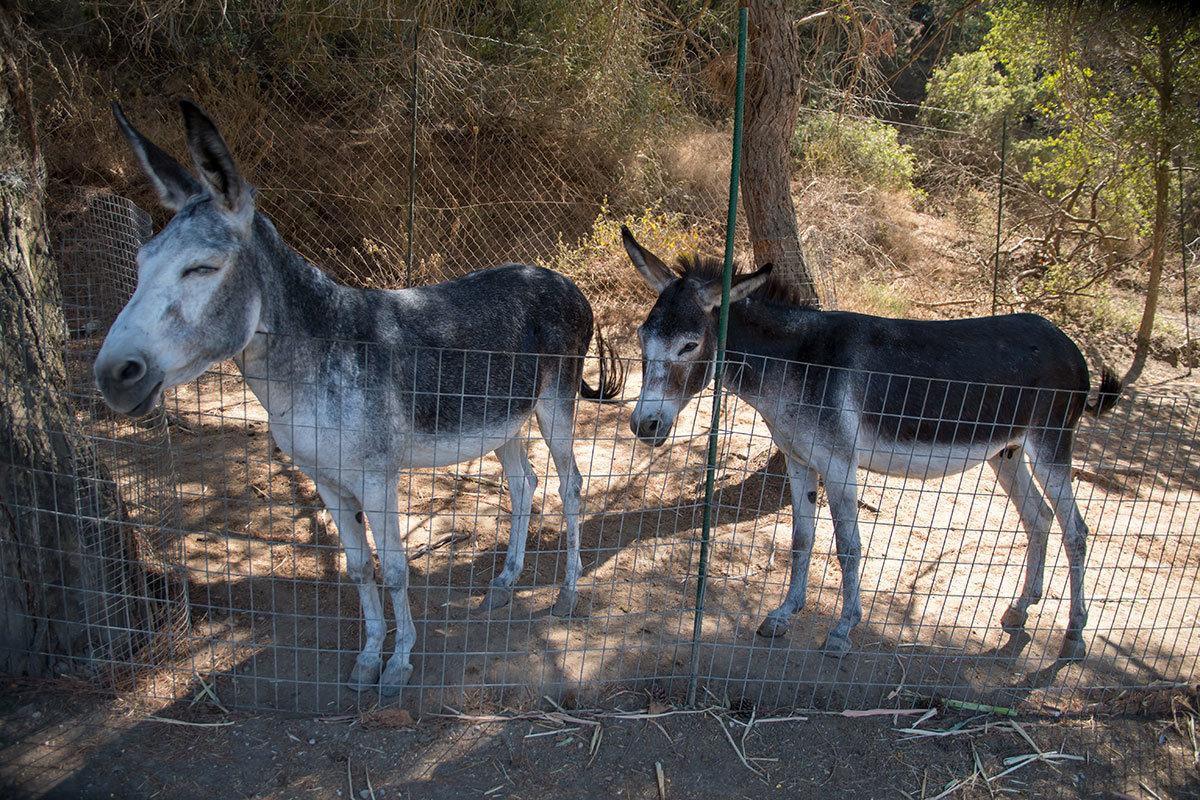 Смирные и кажущиеся задумчивыми ослики, соседствующие с другими обитателями страусиной фермы Родоса, охотно позируют фотографам.