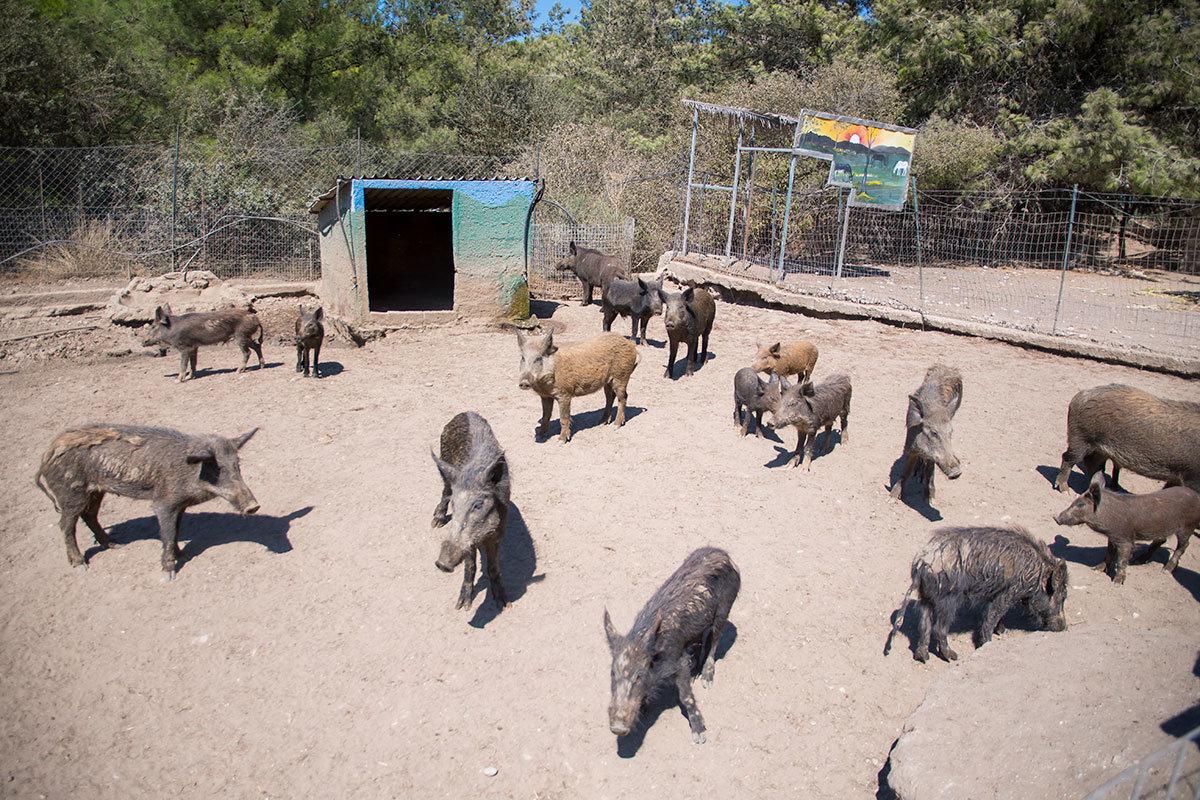Один из просторных вольеров страусиной фермы Родоса предоставлен в распоряжение многочисленному свинскому поголовью.