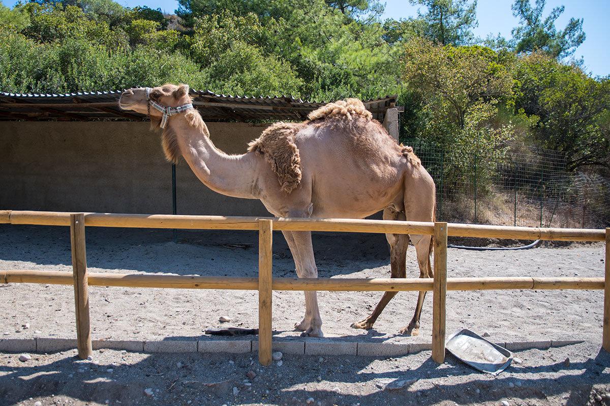 Одногорбый верблюд, или дромадер по научной классификации, невозмутимо позирует перед посетителями страусиной фермы Родоса.