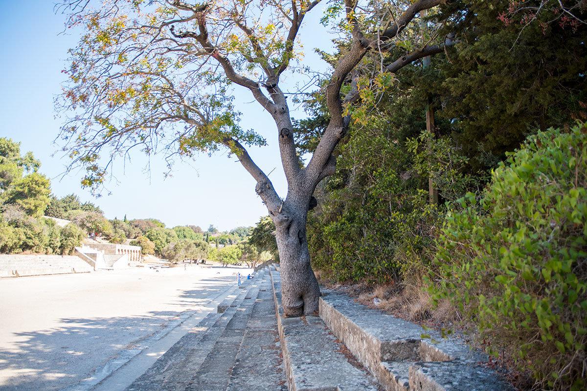 Реставраторы, восстанавливавшие облик античного стадиона Родоса, не стали ликвидировать выросшее на развалинах дерево.