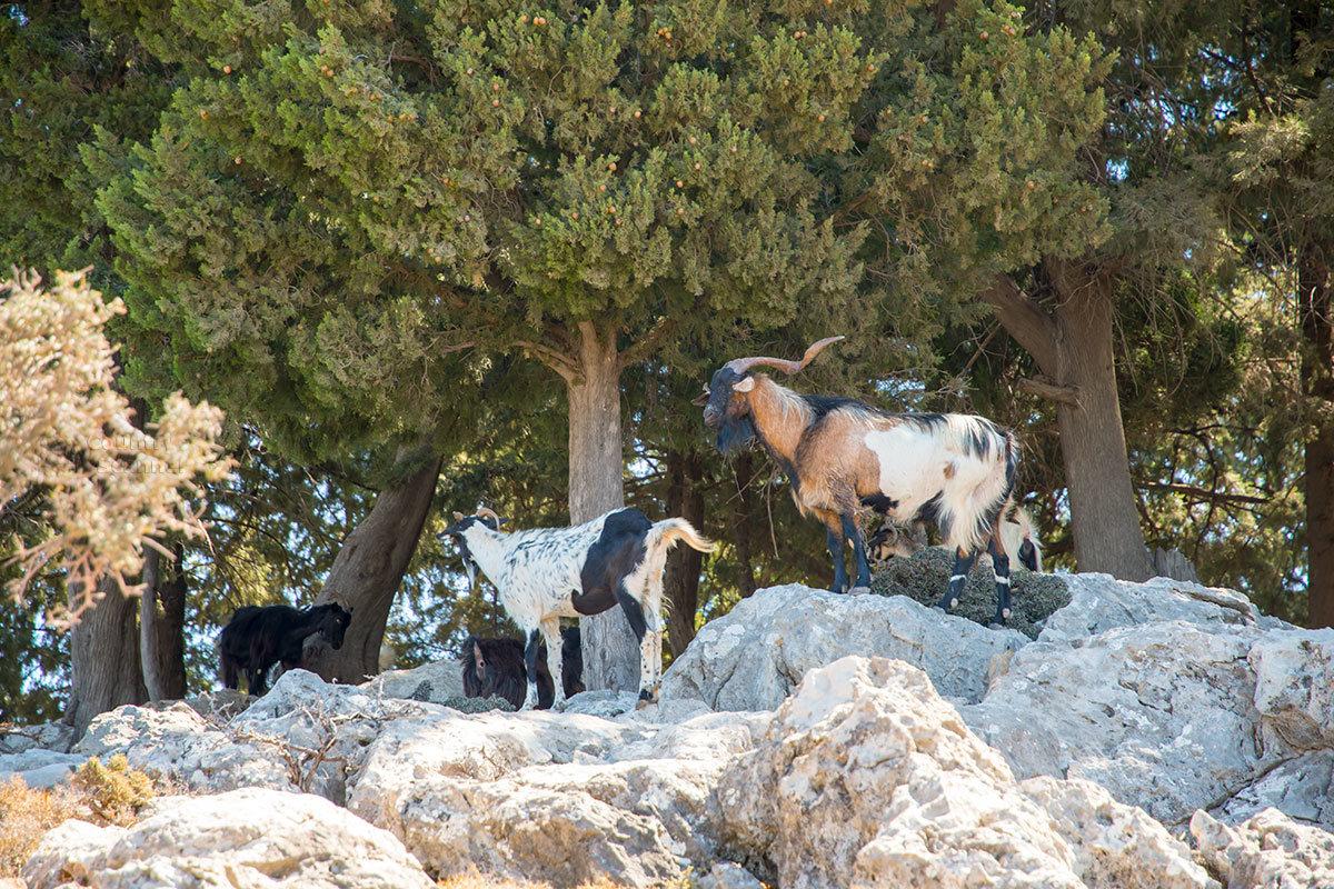 Вездесущие обитатели Родоса, дикие козы, появляются в поле зрения на всем пути следования туристического авто в Верхний монастырь Цамбика.