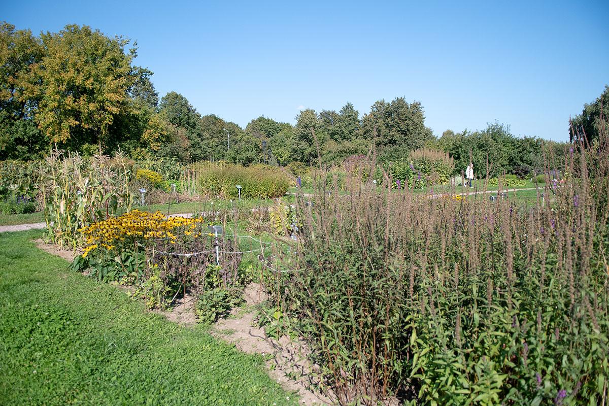 На территории Аптекарского огорода в Коломенском есть растения в различных фазах развития, от появления всходов и цветения до увядания.
