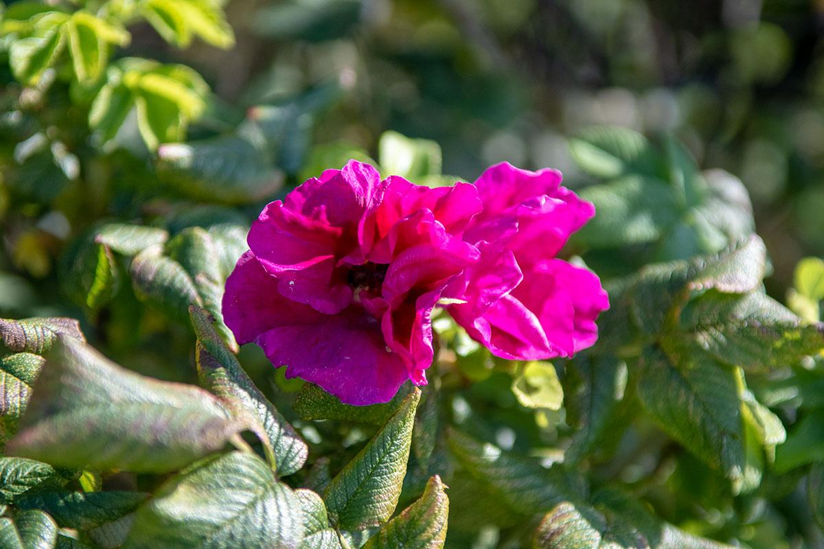 Привлекательно выглядит шиповник, дикий родственник садовой розы, Аптекарский огород в Коломенском его демонстрирует из-за лекарственного применения.