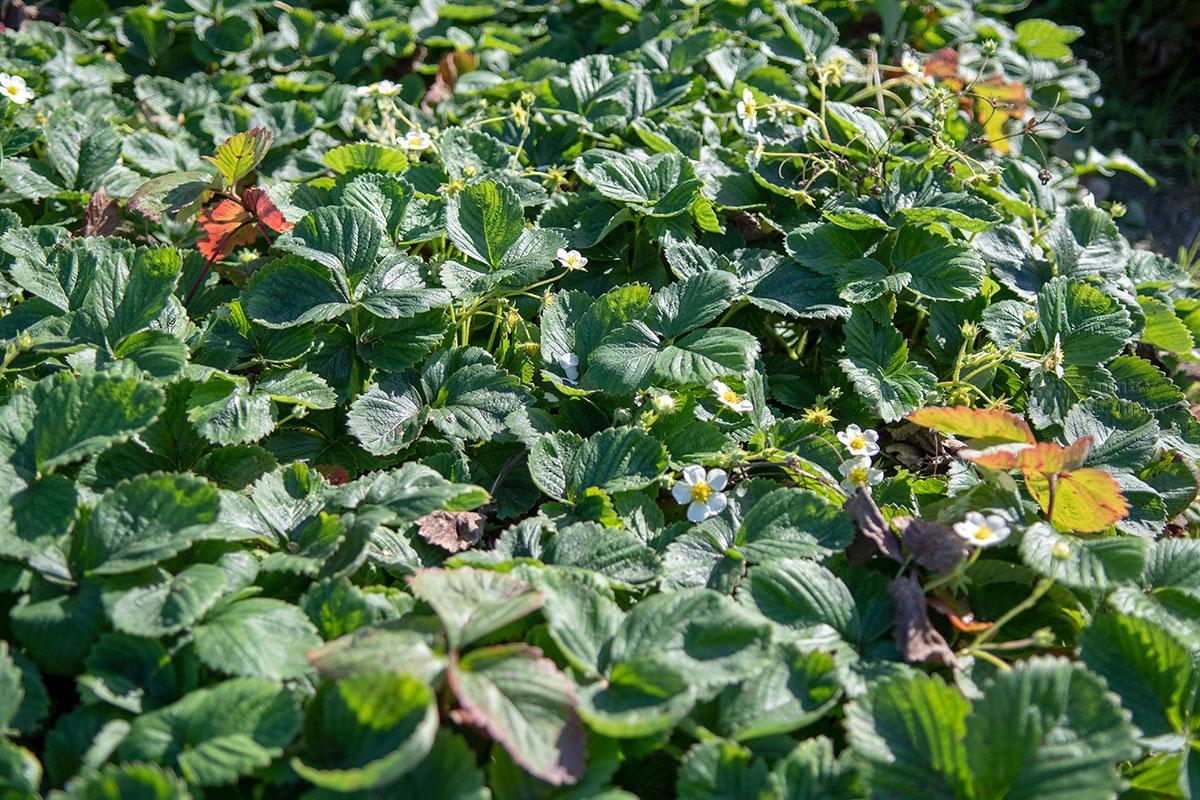 Аптекарский огород в Коломенском показывает свою плантацию лесной земляники, учитывая целительные свойства ягод и листьев.
