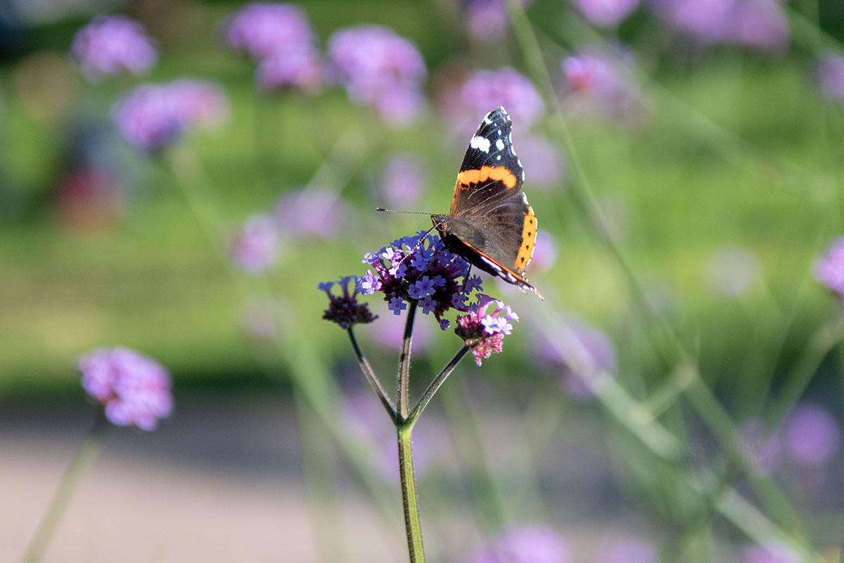 Медоносные растения привлекают в Аптекарский огород в Коломенском множество насекомых, мы сфотографировали бабочку с близкого расстояния.