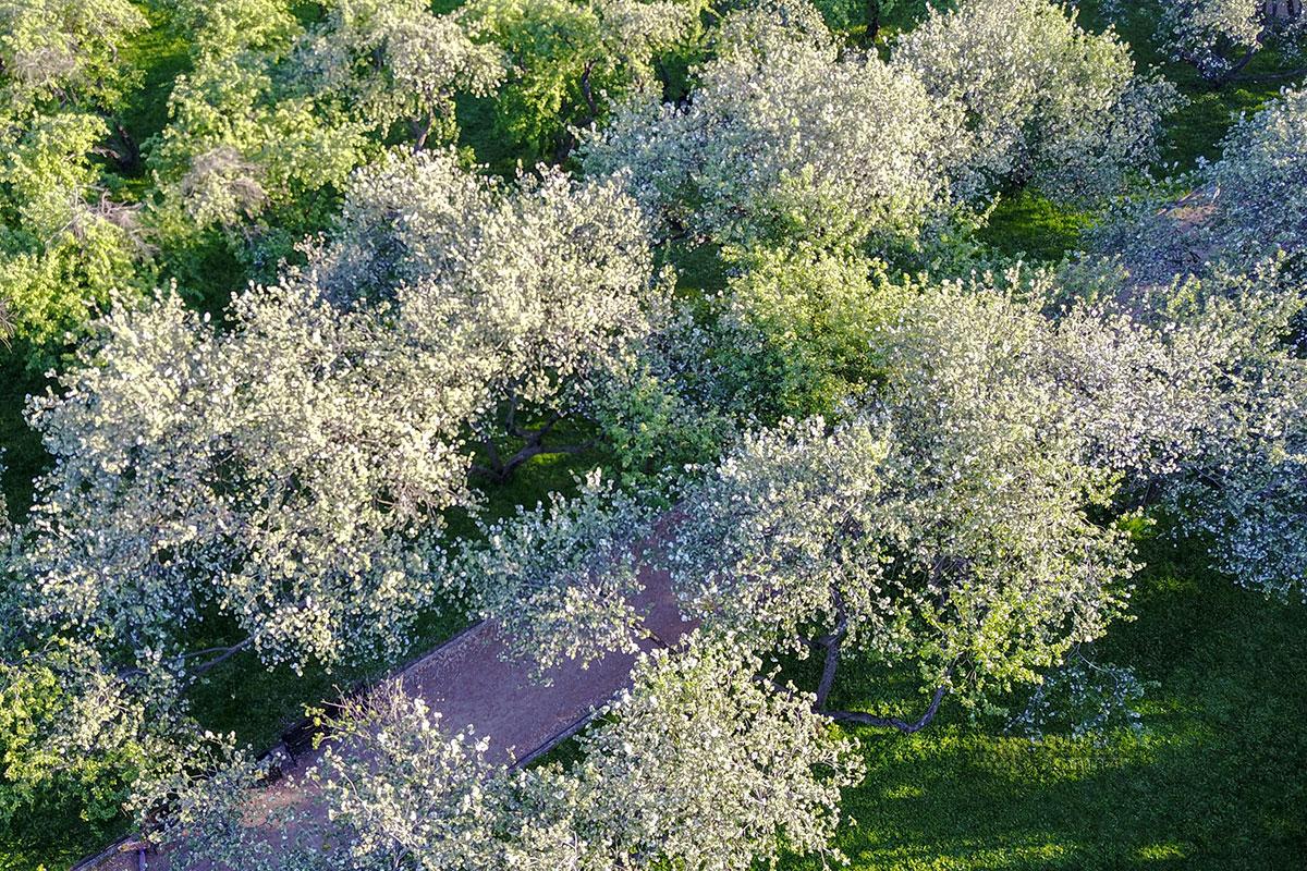 Выполненная квадрокоптером высотная фотография яблоневого сада в Коломенском показывает, каким он видится пролетающим пернатым.