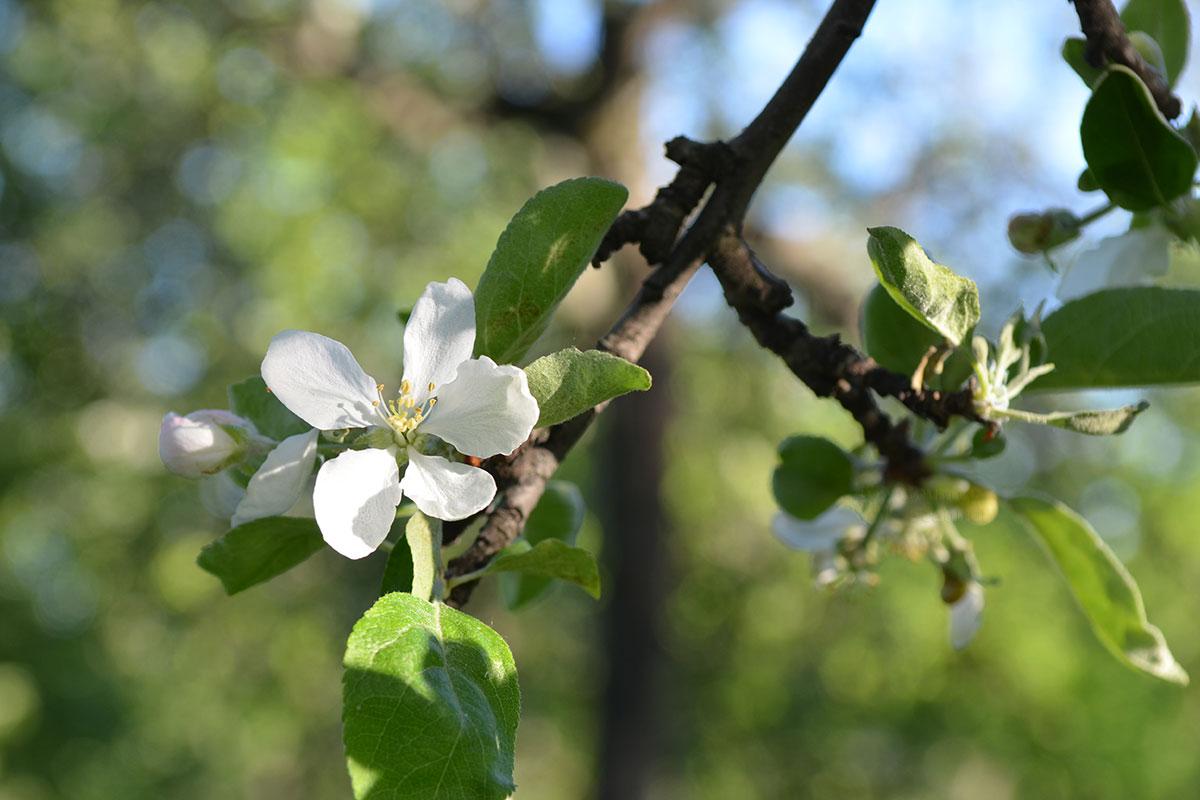 Каждый распустившийся цветок на деревьях яблоневого сада в Коломенском – наглядное пособие для увлекающихся биологией.