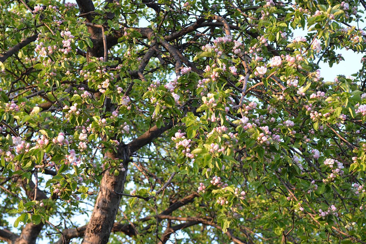 Завсегдатаи яблоневого сада в Коломенском могут наблюдать все фазы цветения, от набухания бутонов до распустившихся цветов, потом – опадание лепестков.