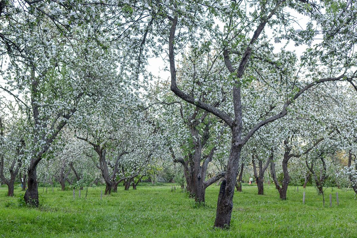 На фотографиях передается вся прелесть цветения, но свои ароматы яблоневый сад в Коломенском доверяет только очным посетителям.