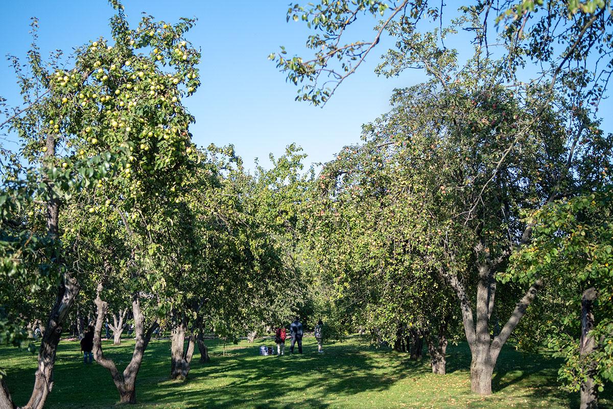 Неорганизованные сборщики урожая яблоневого сада в Коломенском не имеют приспособлений, позволяющих достать плоды с верхних ветвей.