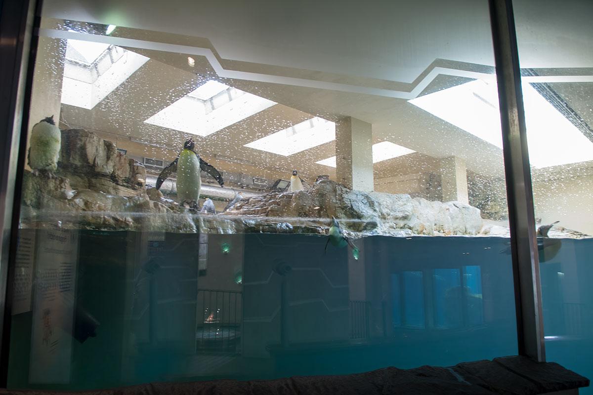 Императорские пингвины с характерным желтым воротником прекрасно себя чувствуют в зоопарке Шенбрунна, обеспечившем привычные условия.