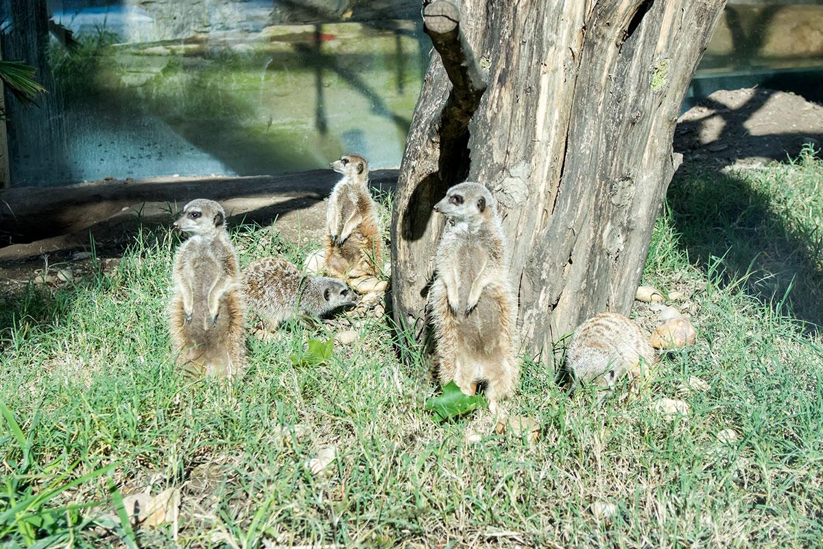 Подолгу стоящие вертикально сторожевые сурикаты в зоопарке Шенбрунна образуют дружную колонию, что им свойственно и в естественных условиях.