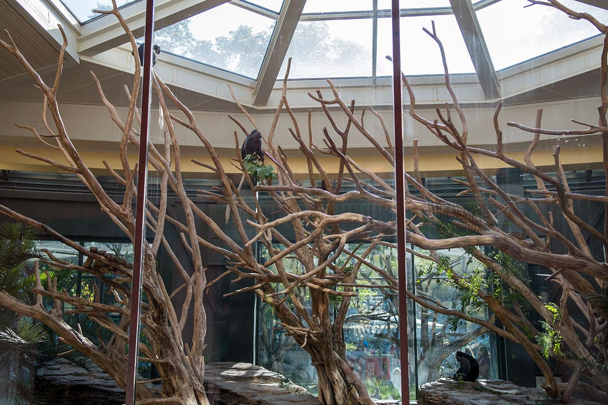 Зоопарк Шенбрунна предоставил обезьянам просторные вольеры с декорациями из сухих древесных стволов, где непросто разглядеть обитателей.