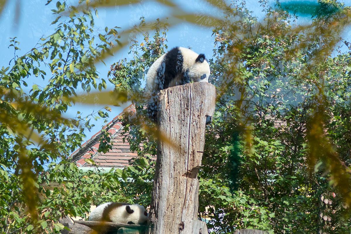 Некоторые посетители зоопарка Шенбрунна оказываются разочарованными из-за малой дневной активности панд, ради которых сюда и приехали.