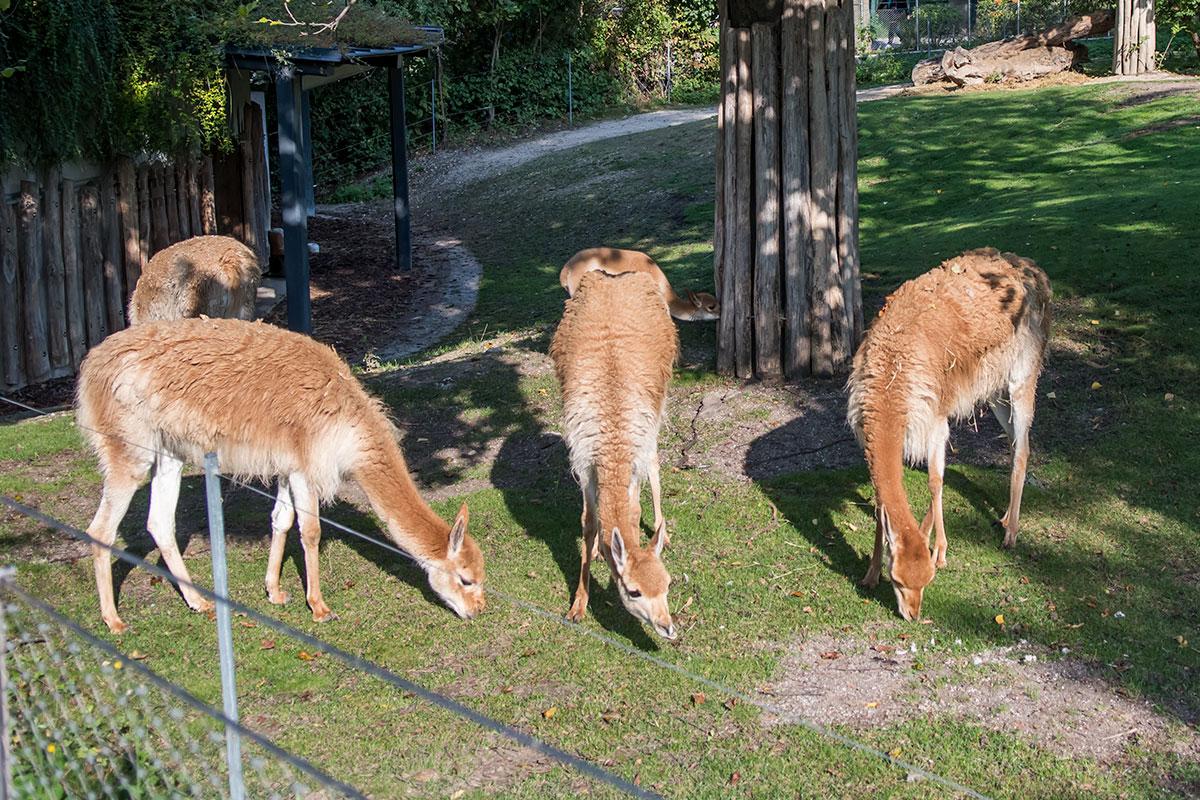 С первых шагов по территории зоопарка Шенбрунна посетители встречают его обитателей, например, симпатичное семейство лам породы викунья.