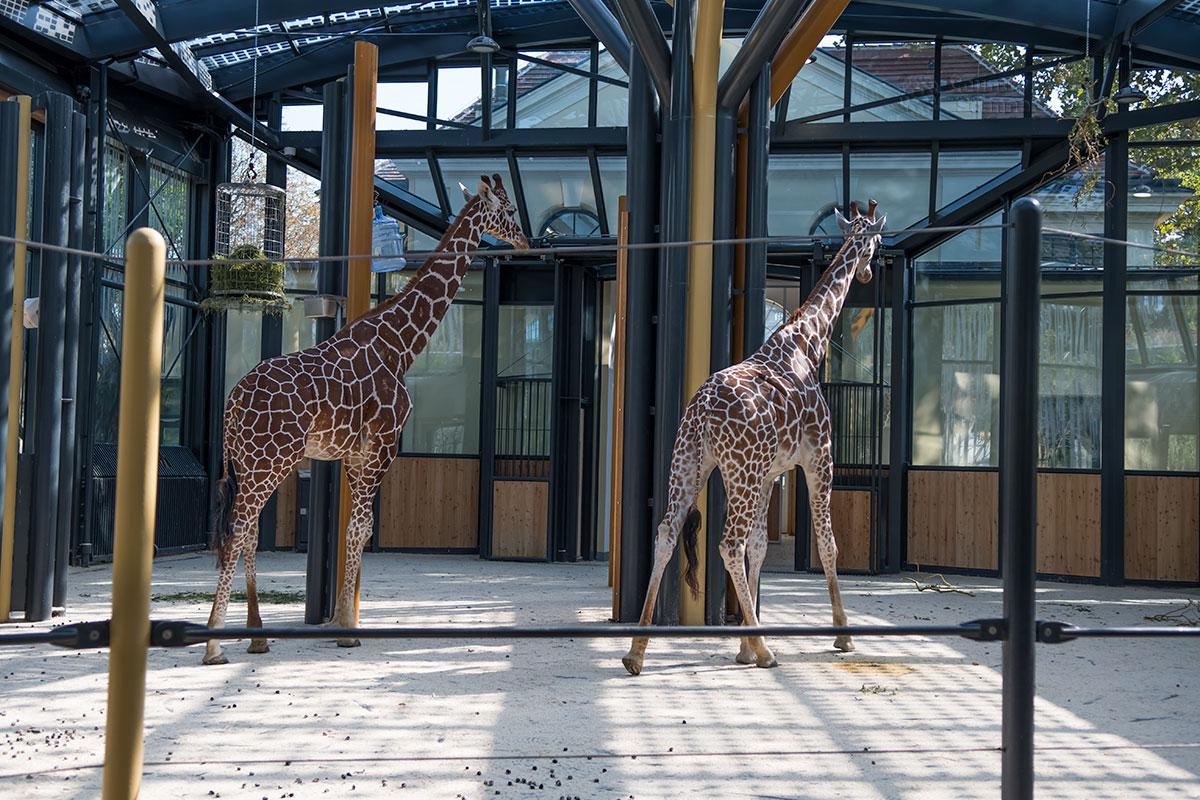 Жирафы, впервые завезенные в зоопарк Шенбрунна в XIX веке, и до сегодняшнего времени остаются одними из звездных его обитателей.