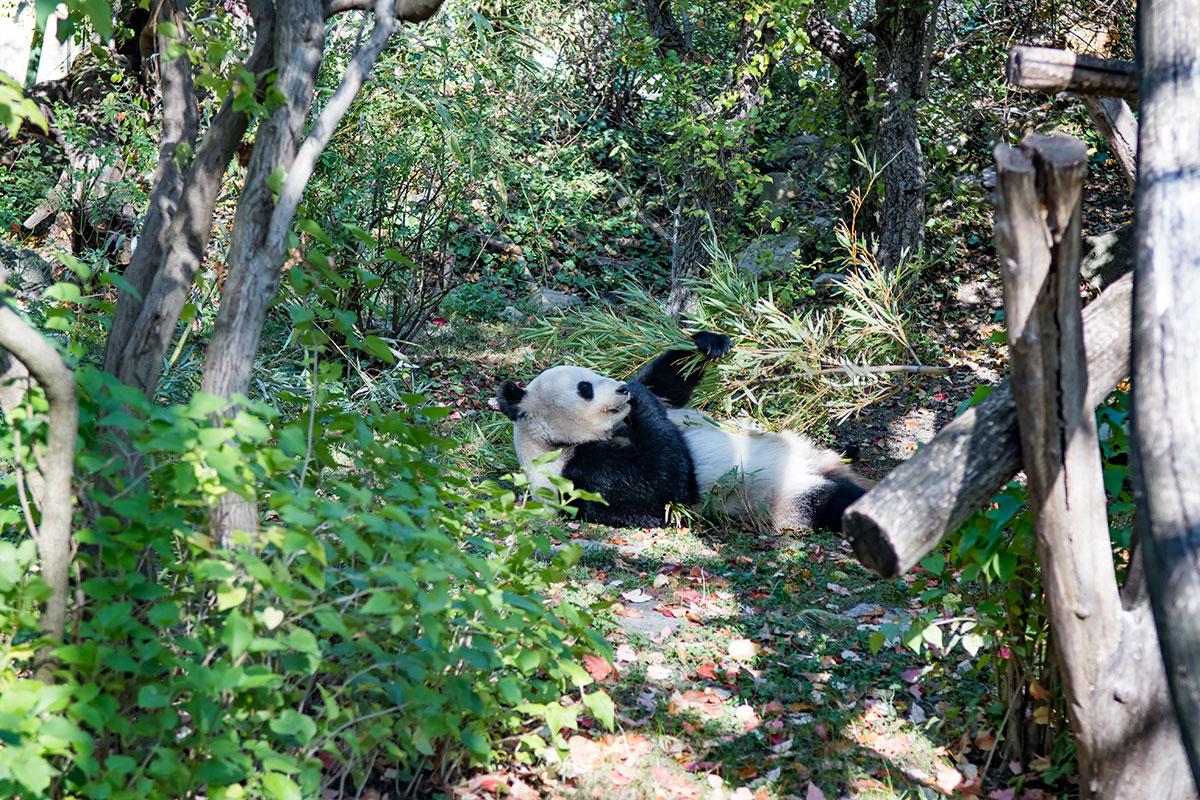Дружелюбные на вид и несколько меланхоличные в поведении, китайские панды уверенно опережают по популярности других обитателей зоопарка Шенбрунна.