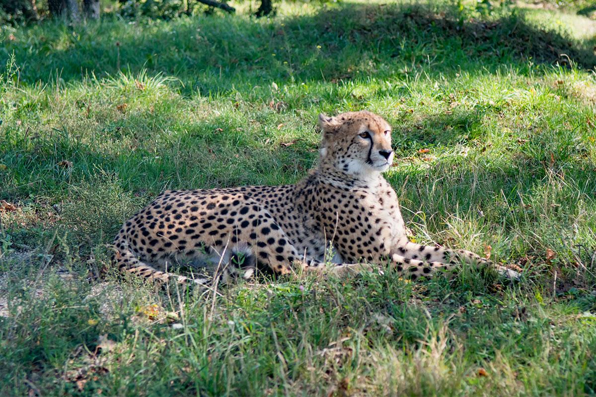 Самым лучшим натурщиком среди кошачьих в зоопарке Шенбрунна оказался гепард, самое быстрое живое существо нашей планеты.