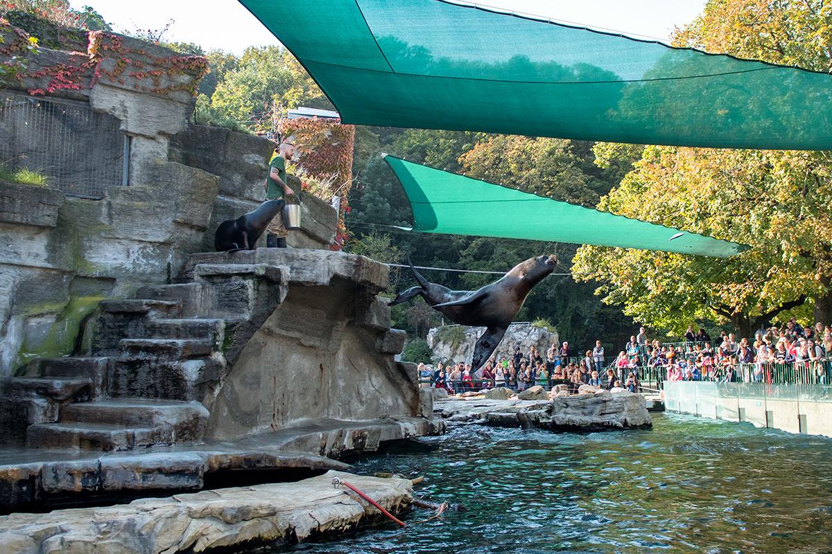 Кормление морских котиков, запечатленное на фотографии, - одно из ежедневных шоу, которое устраивает зоопарк Шенбрунна с многими обитателями.