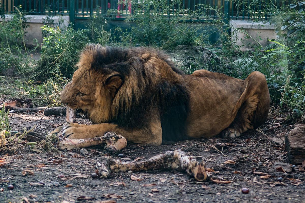 Могучий африканский лев неторопливо обгладывает кости, не обремененный в зоопарке Шенбрунна заботами о поиске пропитания.