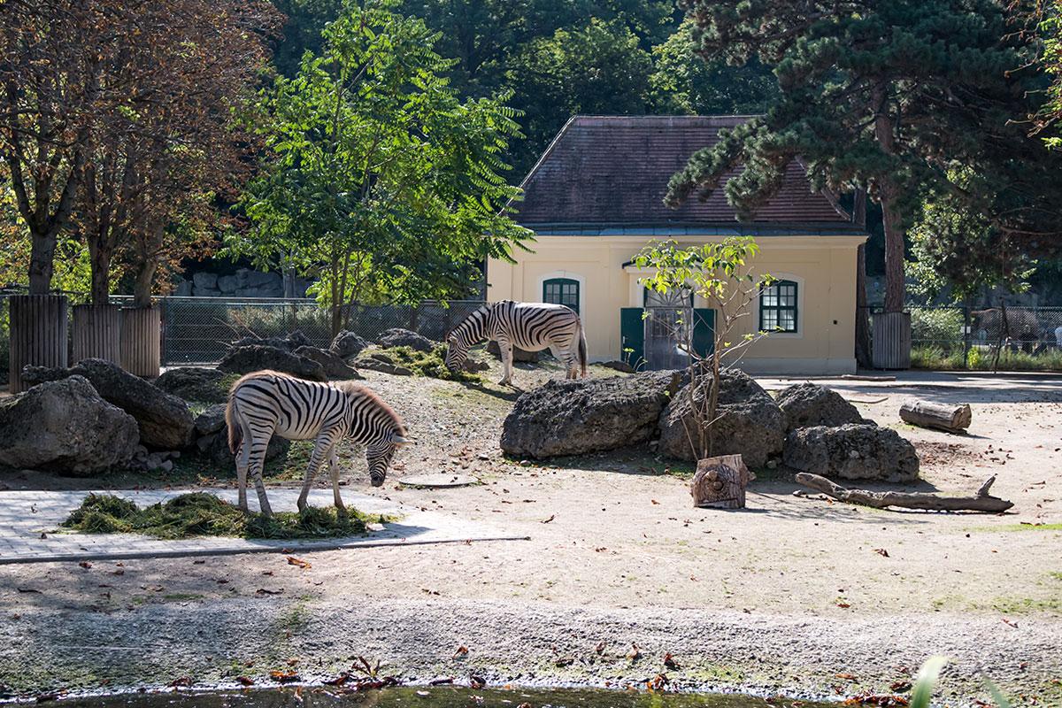 Неровный рельеф, растительность и каменные глыбы выгодно оттеняют полосатых зебр, демонстрируемых зоопарком Шенбрунна.