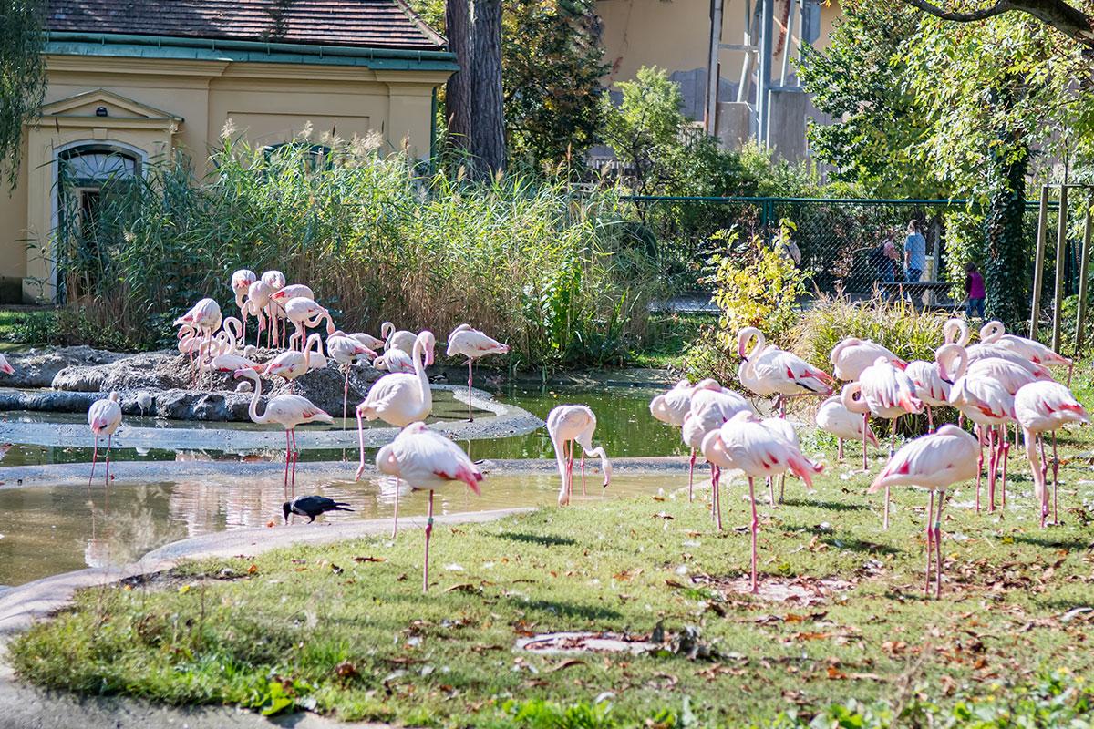 Колония розовых фламинго зоопарка Шенбрунна размещается в живописном вольере с мелководным водоемом, как при вольной жизни.