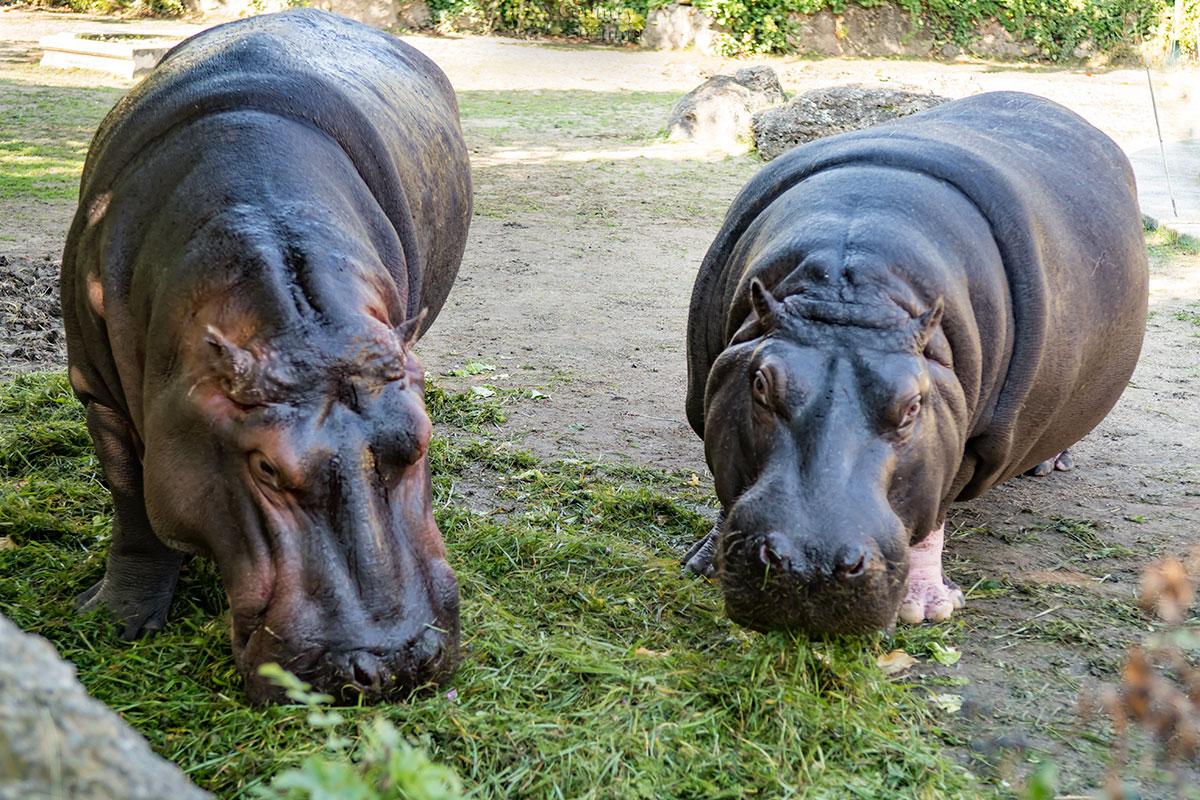 Удачным получилось фото бегемотов в зоопарке Шенбрунна, благодаря совпадению времени визита с кормлением этих гигантов.