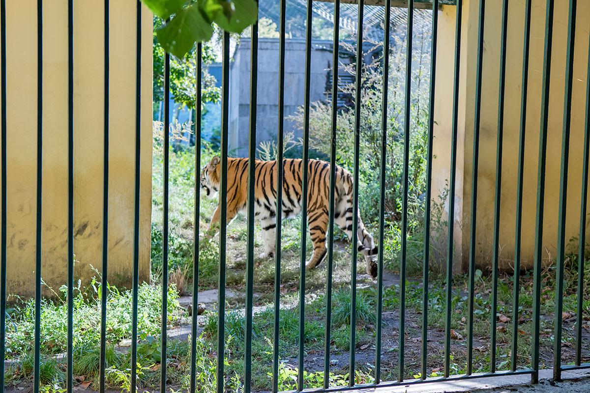 Активно сберегаемый амурский тигр, обитатель зоопарка Шенбрунна, не пожелал фотографироваться и удалился.